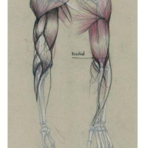 muscles_bras_01-copie